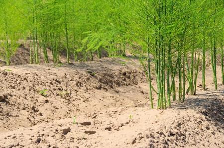 asparagus field 19 photo