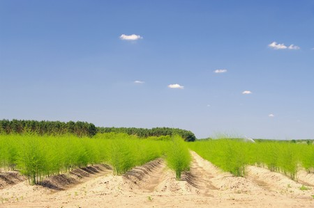 asparagus field 25 photo