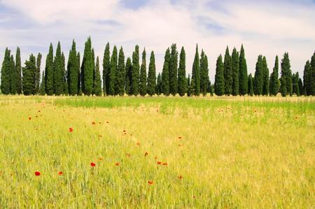 pflanze: cypress avenue
