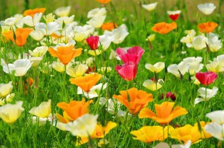 fleurs des champs: Pavot de Californie