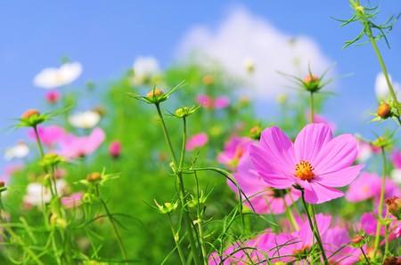 cosmos flowers: cosmea