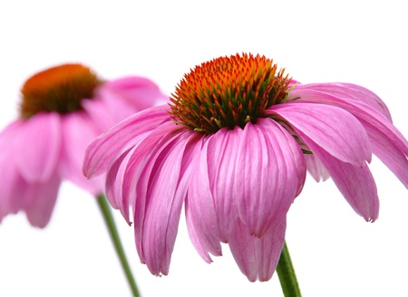 Purple Coneflower 48 photo