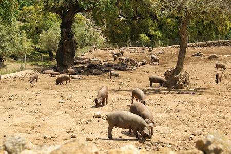 stock breeding: pig