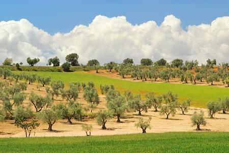 paisaje mediterraneo: olivo