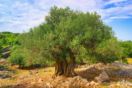 croatia: olive tree trunk  Stock Photo