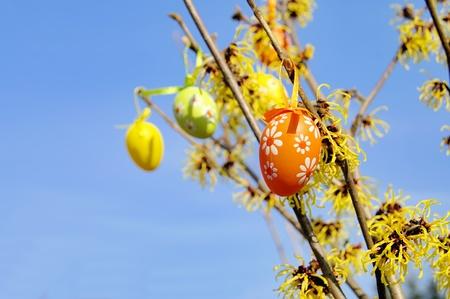 hamamelis: shrub, easter Stock Photo