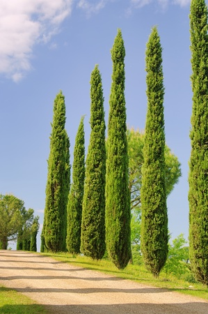 Tuscany cypress  Stock Photo - 8693253