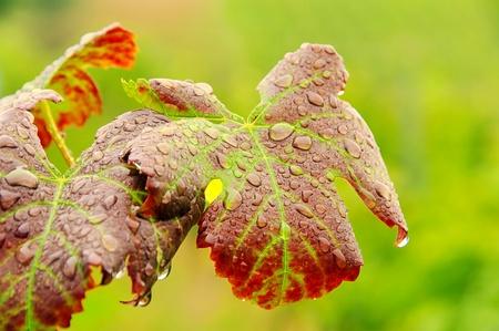 wijnbladeren: wijnbladeren  Stockfoto