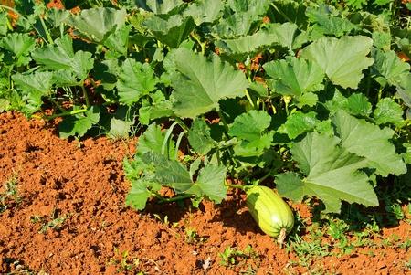 courgette: courgette field  Stock Photo