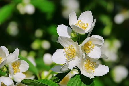 jasmine bush: jasmine 37