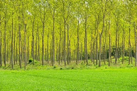arbol alamo: bosque de Populus