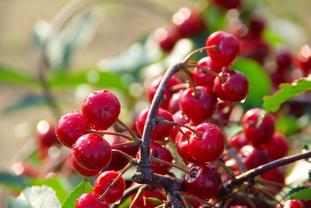 sour cherry photo