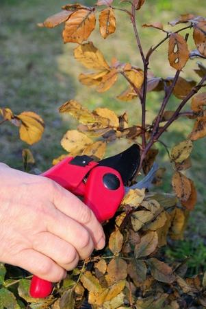 bush trimming: secateurs Stock Photo