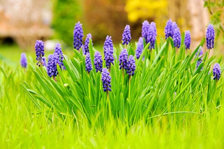 grape hyacinth Stock Photo - 9121460