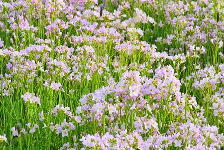 cuckoo: Cuckoo Flower