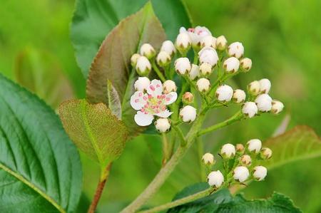 chokeberries flower 01 photo