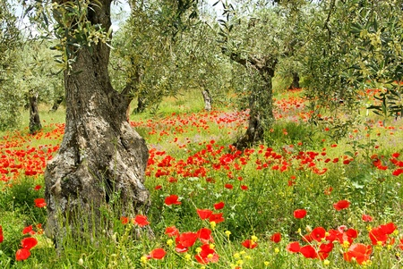 poppy flower: corn poppy in olive grove 04 Stock Photo