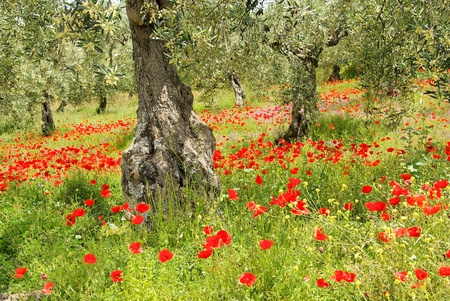 red poppies on green field: corn poppy in olive grove 06