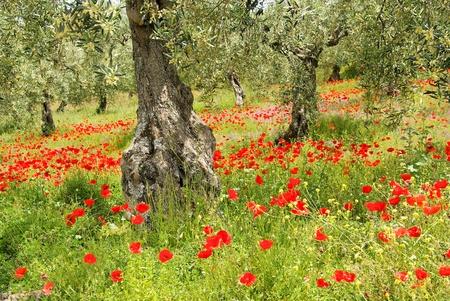field of corn poppy flowers: corn poppy in olive grove 06