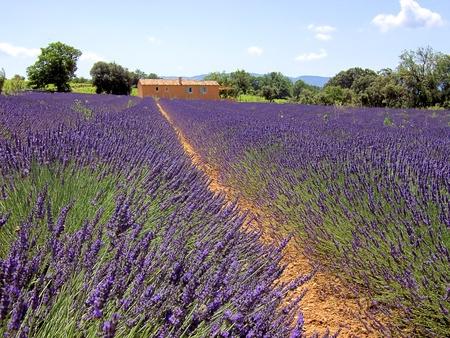 lavender 34 photo