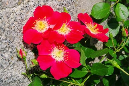 rambler: Rose red Candia 01