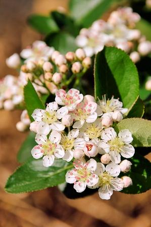 chokeberries flower  photo