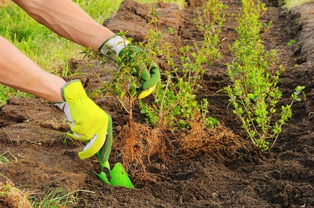 planting a hedge  Stock Photo - 9592842