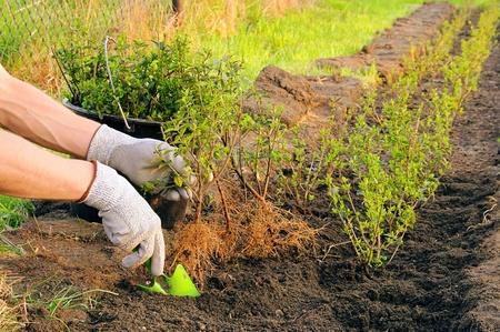 planting a hedge photo
