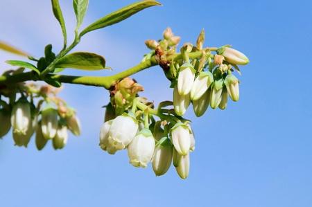 bilberry: Bilberry flower