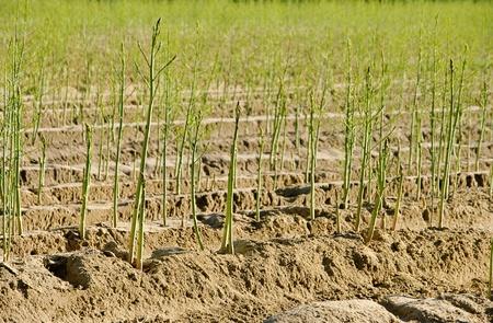 asparagus field photo