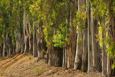 australian outback: eucalyptus