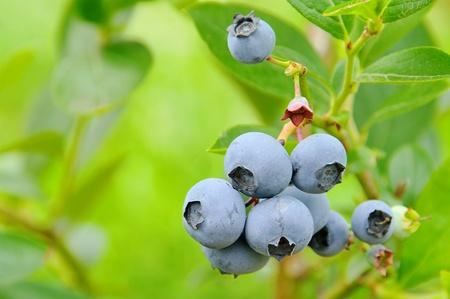 bilberries: blueberry on shrub
