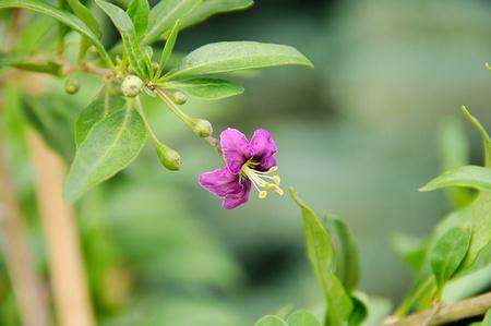 goji: goji berry flower