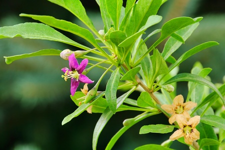 goji berry flower photo