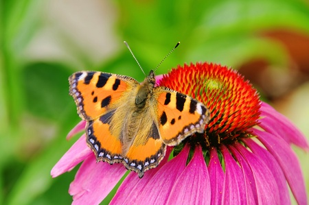 Small Tortoiseshell on Purple Coneflower photo