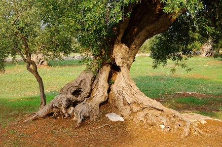 olive tree trunk 17 Stock Photo - 11147624