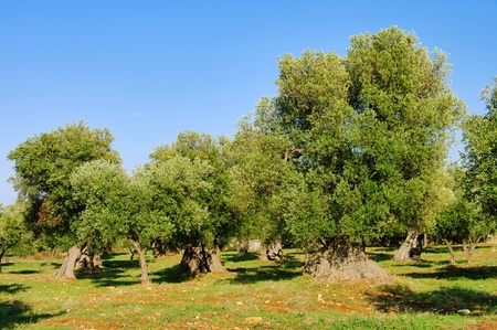 Olivenhain - olive grove  photo