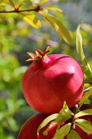Granatapfel Standard-Bild