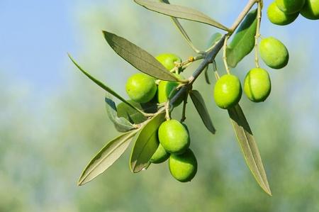 Olive 41 Banque d'images - 12070644