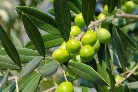 rama de olivo: Oliva