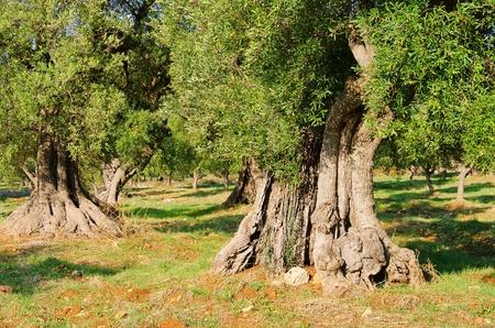 puglia: olive grove