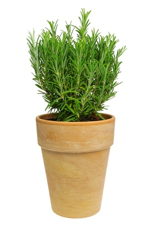 flower pots: Rosemary isolated 01 Stock Photo