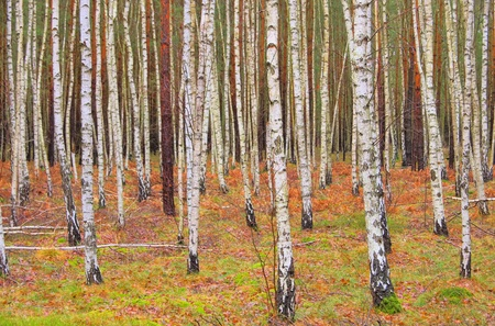 white birch tree: birch forest