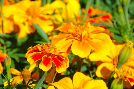 tagetes: Tagetes  Stock Photo