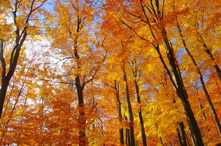 beech forest in fall 35 photo