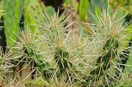 opuntia: Opuntia tunicata 02 Stock Photo