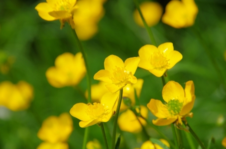 Creeping Buttercup Stock Photo - 14392872
