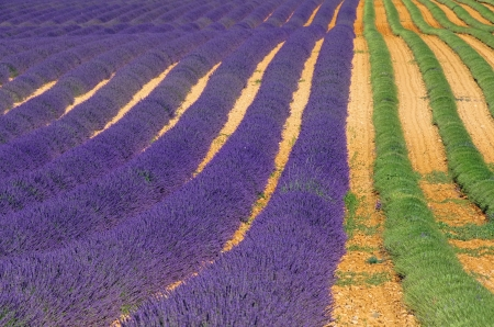 lavender field harvest  photo