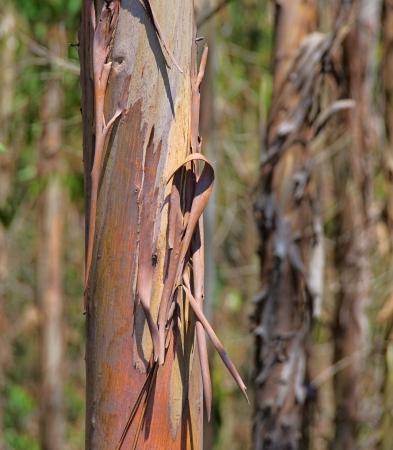 eucalyptus trees: eucalyptus 13