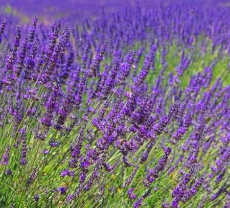 lavender 64 photo
